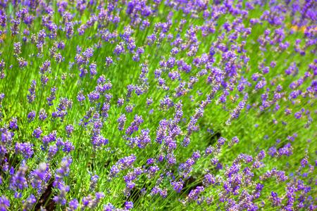 herbalism: Lavender flowers field