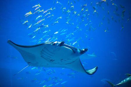 Manta ray in Okinawa Churaumi Aquarium photo