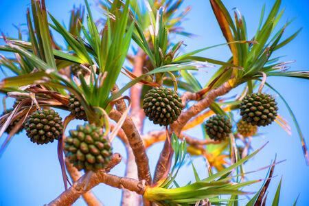 tectorius: Pandanus tectorius tree in Okinawa