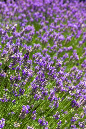 Lavender flowers field 免版税图像 - 30731309