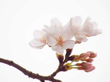 Close up of Yoshino cherry blossoms in the sky background photo