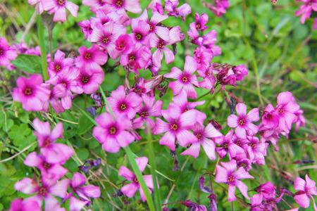 corymbosa: Pink woodsorrel  Oxalis corymbosa