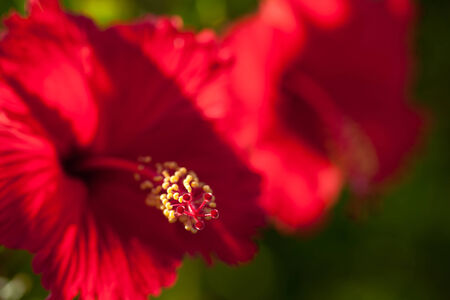 Tropical red bright flower hibiscus in Okinawa photo