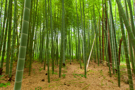 Bamboo forest  写真素材