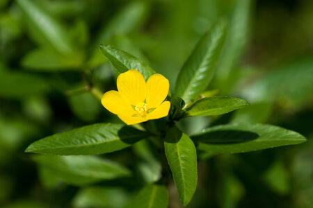 naturalization: Ludwigia peploides. Subsp stipulacea