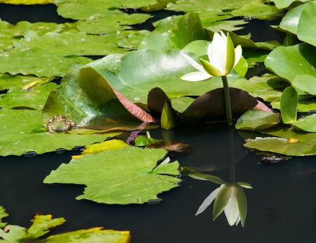 blackspotted: White water lily and Black-spotted pond frog  on a lily pad