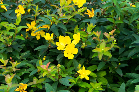 naturalization: Ludwigia peploides, Subsp stipulacea, ONAGRACEAE, Endangered Ⅱ class VU  Stock Photo