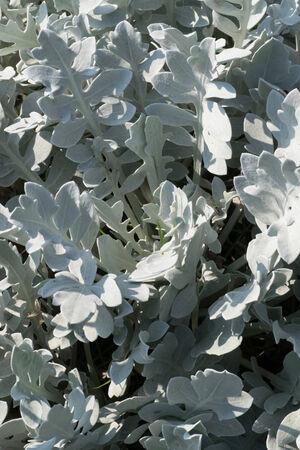 centaurea: Centaurea ragusina, Asteraceae, Croatia Stock Photo