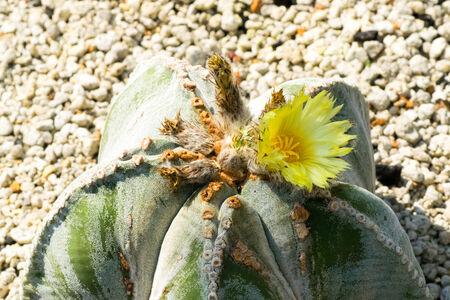 northeastern: Astrophytum myriostigma var strongylogonum, CACTACEAE, northeastern Mexico