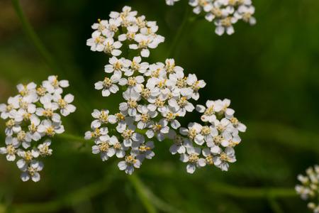 yarrow: Achollea alpina var longiligulata, Yarrow, Yarrow White, Asteraceae, Honshu - Hokkaido  Stock Photo