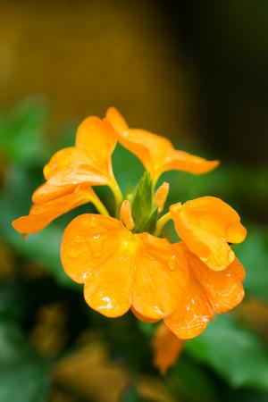 southern sri lanka: Crossandra infundibuliformis, Acanthaceae, Inndo Southern, Sri Lanka
