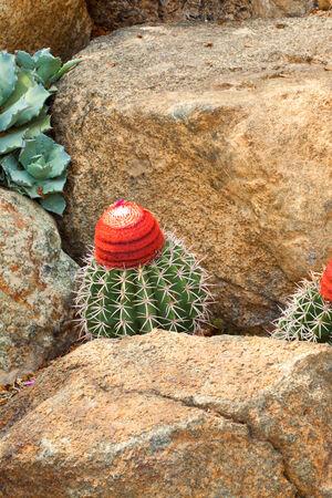 Melocactus concinnus、サボテン科、ブラジル