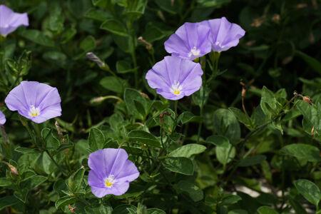 convolvulus: Convolvulus sabatius, Blue compactor, Convolvulaceae, Mediterranean coast