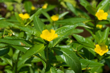 naturalization: Ludwigia peploides subsp stipulacea, ONAGRACEAE, Endangered Ⅱ class VU