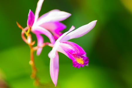 orchidaceae: Bletilla formossa x striata, Orchidaceae
