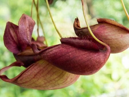 var: Nepenthes mirabilis var. globosa, Nepenthaceae, Malaysia Stock Photo