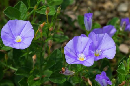 convolvulaceae: Convolvulus sabatius, Blue compactor, Convolvulaceae, Mediterranean coast
