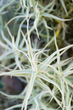 tillandsia: Tillandsia, Bromeliaceae, Ecuador