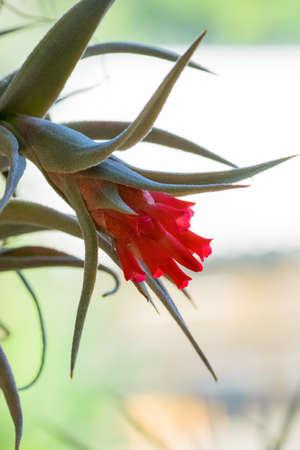 Tillandsia edithae, Bromeliaceae, tropical America