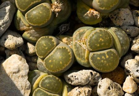 Lithops salicola, 남아프리카 공화국