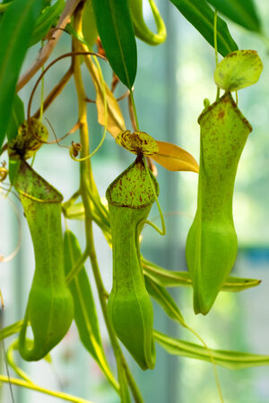 nepenthes: Nepenthes sp., Nepenthaceae, Philippines