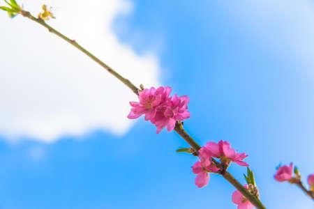 blauer himmel mit wolken: Pfirsich-Bl�ten, blauer Himmel, Wolken