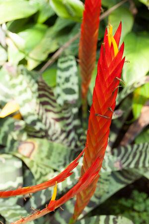 vriesea: Vriesea splendens, Bromeliaceae, Venezuela - French Guiana