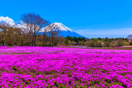 Red moss phlox flowers and Mount Fuji