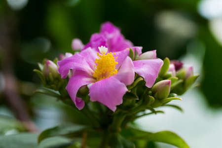 Rhodocactus panamensis flower photo