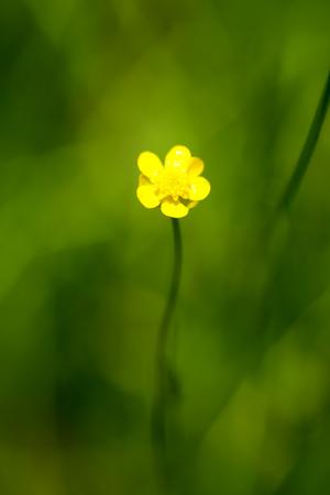 nt: Spearwort, Ranunculaceae, Japan, near threatened NT Stock Photo