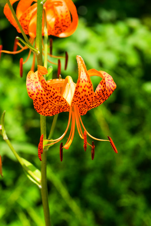 var: Lilium leichtlinii var. Tigrinum, Liliaceae, Japan endemic species Stock Photo