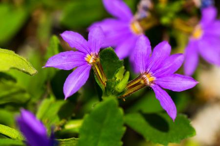 rich flavor: Scaevola aemula, blue fan flower, GOODENIACEAE, southeastern Australia