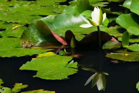 blackspotted: White water lily and Black-spotted pond frog  on the lily pad Stock Photo