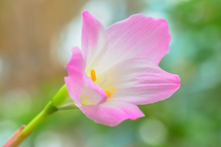Zephyranthes lily, rain lily,fairy lily, little witches photo