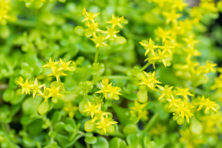 endangered species: Hama stonecrop, Crassulaceae, Japan, endangered species