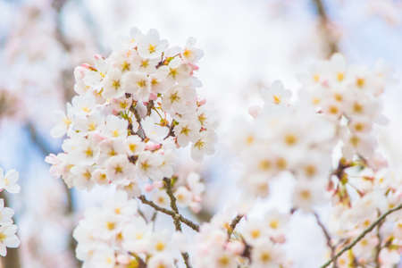 full      bloom: Yoshino cherry blossom in full bloom Stock Photo