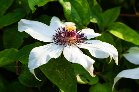 clematis flower: White clematis flower Stock Photo