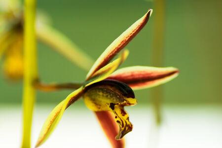 orchidaceae: Cymbidium bicolor subsp. pubescens, Orchidaceae, Southeast Asia