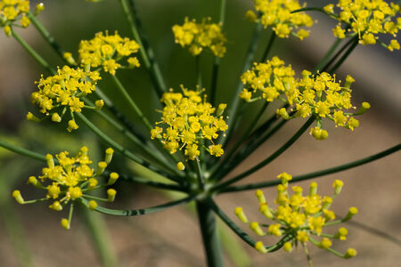 foeniculum vulgare: Sweet funnel, Foeniculum vulgare var. dulce Umbelliferae, herbs, southern Europe - West Asia
