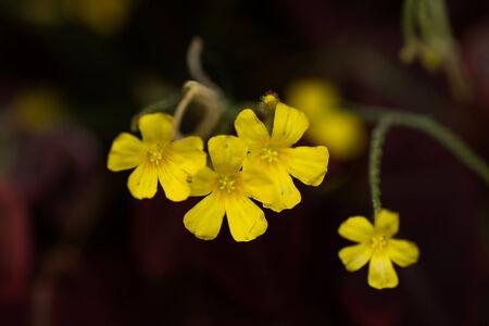 oxalis: Oxalis hedysaroides, rubra, Oxialidaceae, Brazil Stock Photo