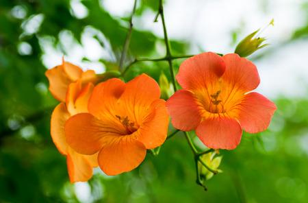 Orange big flower, Campsis grandiflora, Bignoniaceae