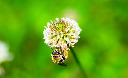 trifolium: Honey bee on the white clover, Trifolium repens