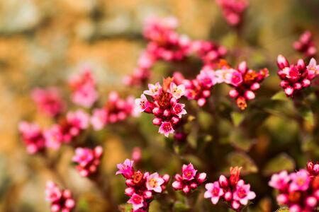 cooper: Crassula cooper, Crassulaceae, South Africa