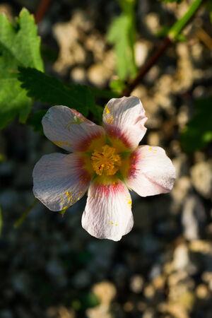 malvaceae: Malvastrum lateritium, Malvaceae, Mexico