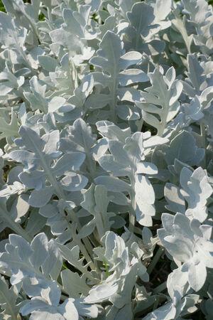 Centaurea ragusina, Asteraceae, Croatia photo