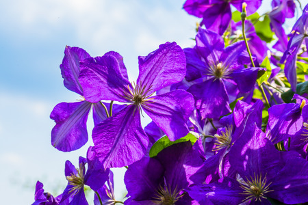 Purple clematis flowers and blue sky photo