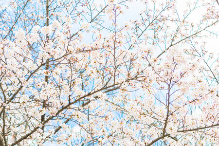Yoshino cherry blossom in full bloom photo