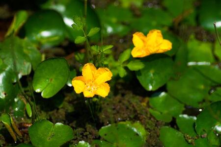 palustris: Caltha palustris var. nipponica, RANUNCLUCEAE, Japan