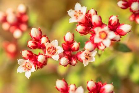 crassula: Crassula cooper, Crassulaceae, South Africa