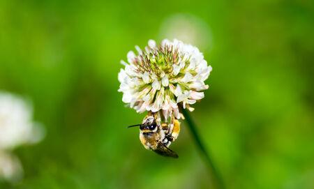 Honey bee on the white clover, Trifolium repens photo